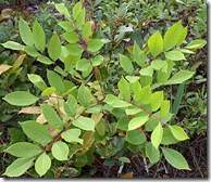 Poison Sumac stems and leaves