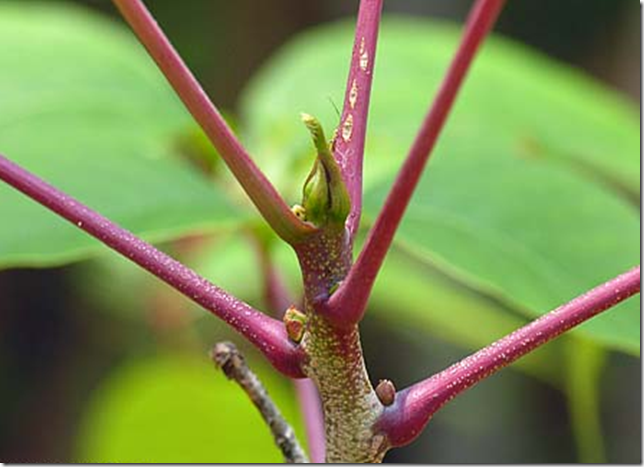 Red Poison Sumac stems make the plant easy to identify