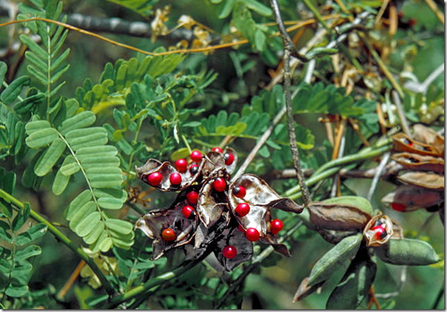 Rosary Pea seeds and plant leaves
