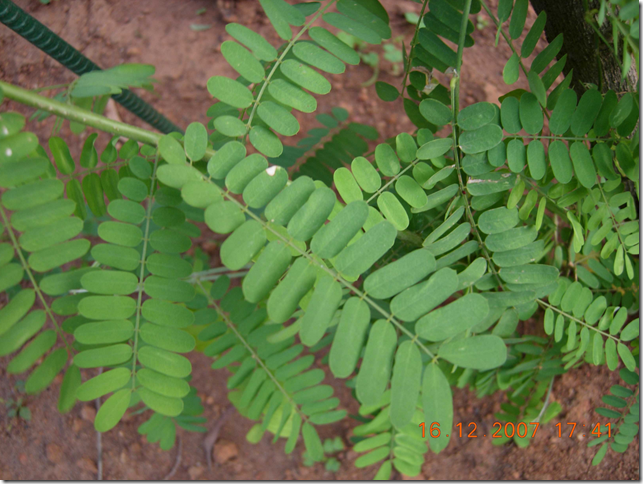 Close-up of Rosary Pea leaves and leaflets