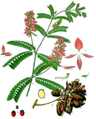 Drawing of Rosary Pea plant illustrating plant's stems, leaves, flowers, seedpods, and seeds