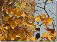 Strychnine Tree leaves in the Fall season