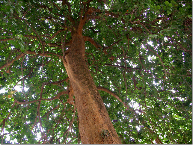 Strychnine Tree trunk, limbs, and canopy