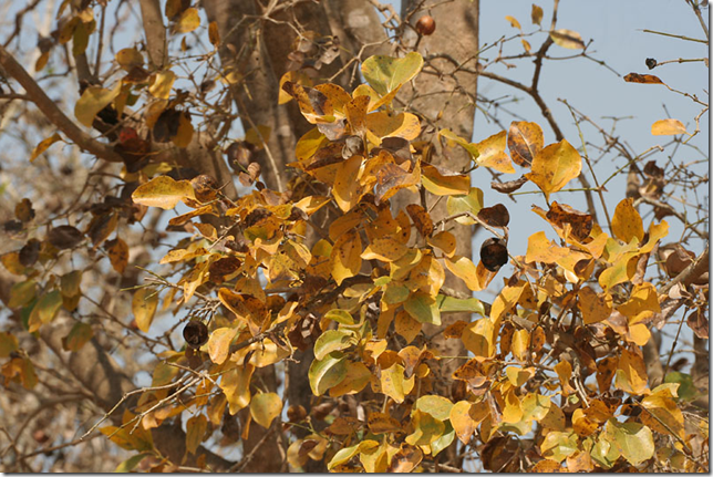 Strychnine Tree foliage in the Fall