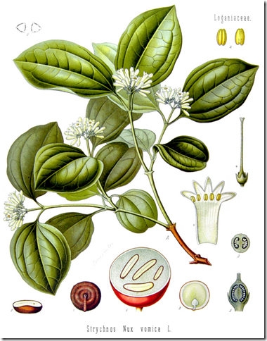 Drawing of the Strychnine Tree illustrating the plant's leaves, flowers, seedpod, and seeds