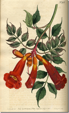 Drawing of Trumpet Vine plant illustrating the leaves and flowers