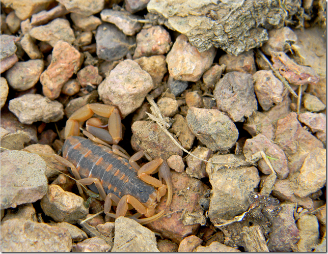 Scorpion camouflaged in rocks