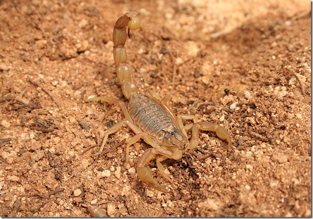 Scorpion camouflaged in red dirts