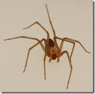 Forward look at the Brown Recluse spider