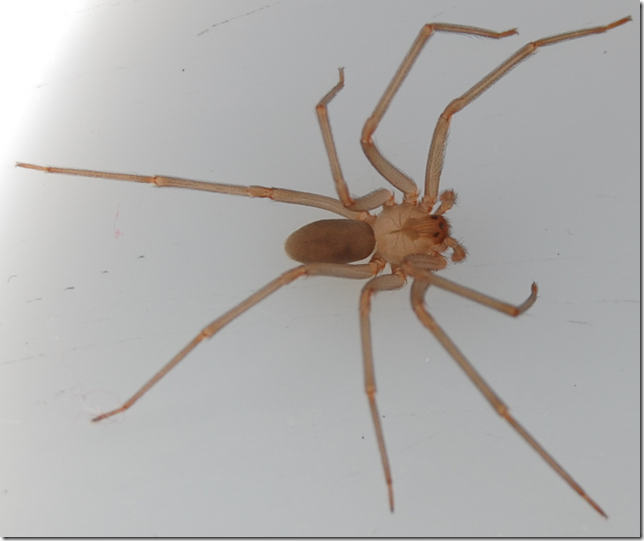 Top of Brown Recluse spider