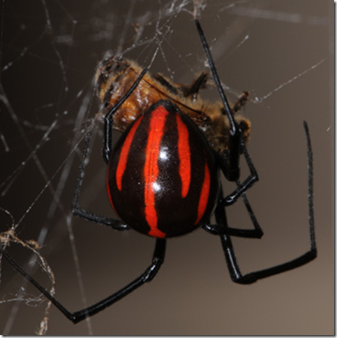Some Widow spiders have red striped markings