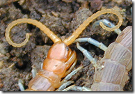 Centipede pincer like arms called forcipules