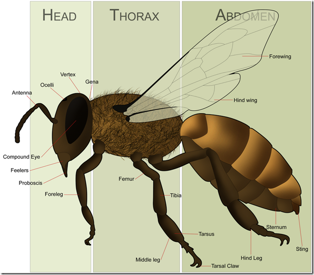 Anatomy of a Bee