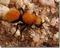 Velvet Ant is actually a type of wasp