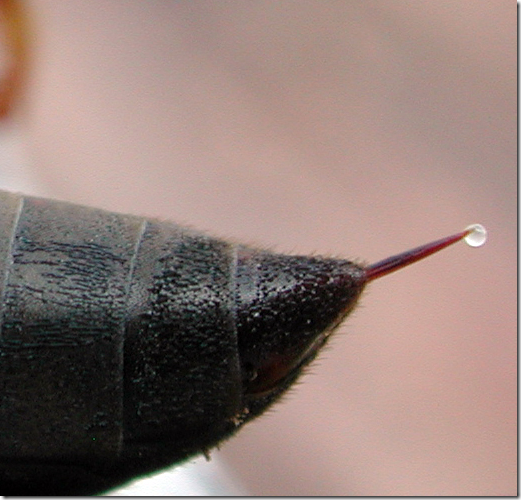 Wasp stinger with a drop of venom being secreted