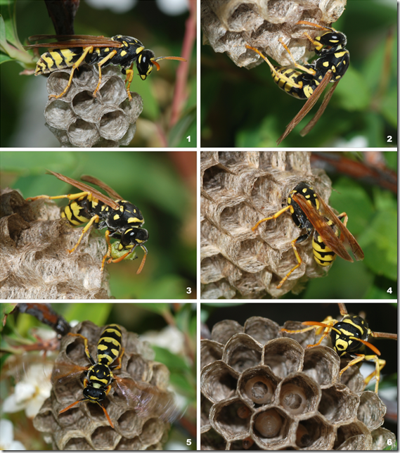 Time sequence photos of a Wasp building a nest