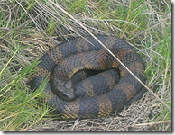 Snake coiled in grass