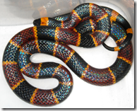 Deadly Coral Snake - red on yellow, you're a dead fellow
