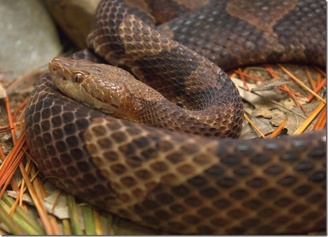 Close-up of Copperhead Snake