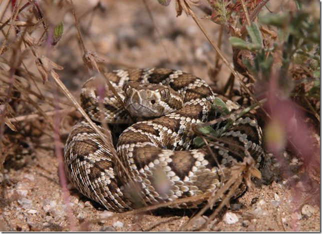 The Mojave Rattlesnake can be difficult to see in its native habitat