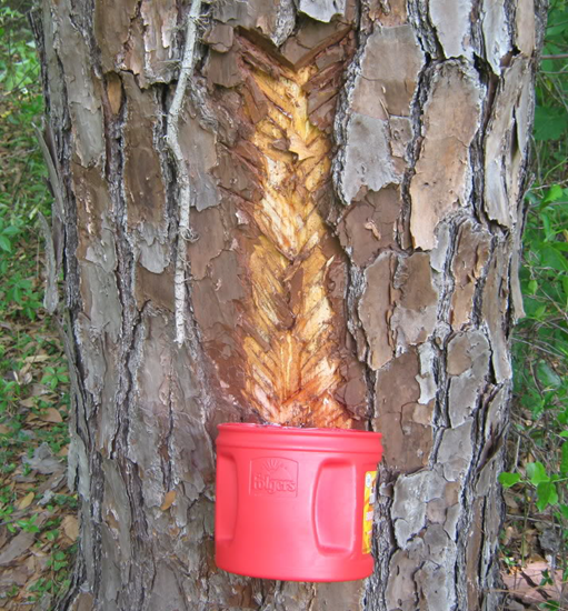 Tapping sap from a pine tree