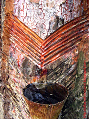 V-shaped notches used to tap sap from a pine tree