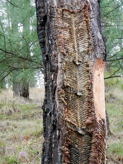 A pine tree that has been tapped repeatedly for sap over a period of many years