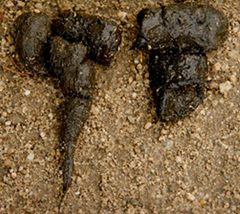 "Wolf scat is typically large (6""-17"" long by ½"" to 1 7/8"" wide), ropey, and tapered on one or both ends"