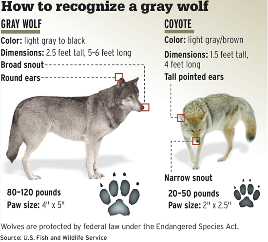 How to tell a gray wolf from a coyote