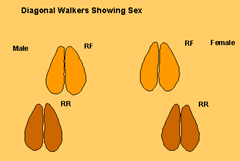 Diagonal walkers tracks showing difference in sex