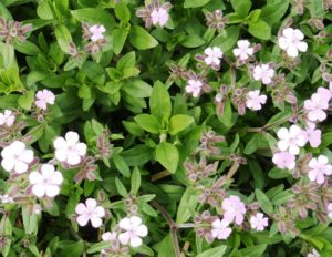 Soapwort plant with flowers